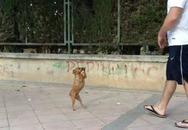 Thú vị chú chó Chihuahua nhỏ xinh đi bằng 2 chân